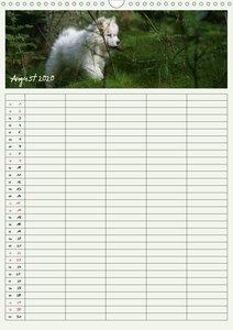 Kleine Samojeden (Wandkalender 2020 DIN A3 hoch)