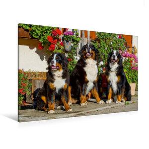 Premium Textil-Leinwand 120 cm x 80 cm quer Berner Sennenhunde v