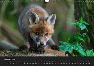 Füchse in freier Natur (Wandkalender 2019 DIN A3 quer)