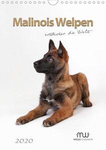 Malinois Welpen entdecken die Welt
