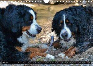 Augenblicke mit dem Berner Sennenhund (Wandkalender 2019 DIN A4