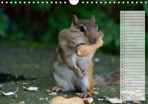 Streifenhörnchen - neugierige Nager (Wandkalender 2019 DIN A4 qu