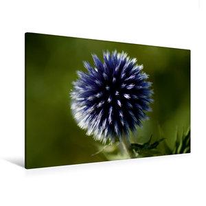 Premium Textil-Leinwand 120 cm x 80 cm quer Blaue Kugeldistel