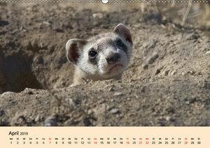 Frettchen und Marder. Frech, witzig, niedlich (Wandkalender 2019