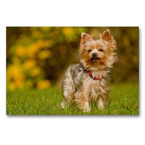 Premium Textil-Leinwand 90 cm x 60 cm quer Yorkshire Terrier