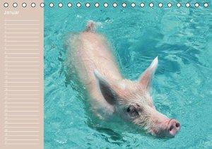 Schwimmende Schweine / Geburtstagskalender (Tischkalender immerw