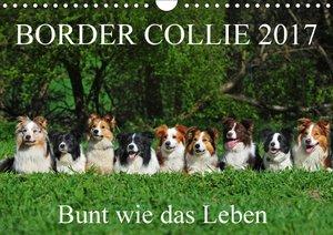 Border Collie 2017