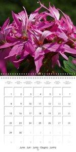 Pelargonium Dreams (Wall Calendar 2015 300 × 300 mm Square)