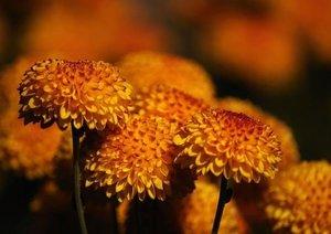 Flower Varieties (Poster Book DIN A4 Landscape)