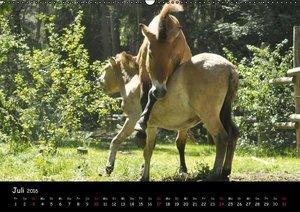 Przewalskipferde (Wandkalender 2016 DIN A2 quer)