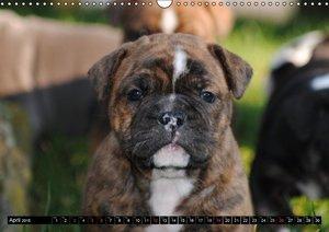 Bulldogs - Old English Bulldog Puppies (Wall Calendar 2015 DIN A