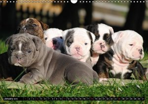 Bulldogs - Old English Bulldog Puppies (Wall Calendar 2015 DIN A