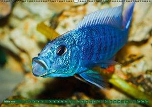 Glanz im Aquarium: Süßwasserfische (Wandkalender 2016 DIN A2 que