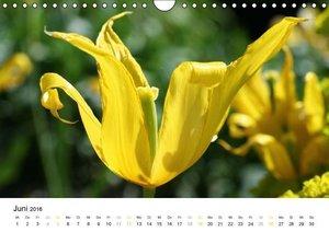 Tulpen (Wandkalender 2016 DIN A4 quer)