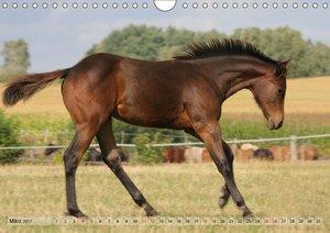 Quarter Horses - Die größte Zuchtbuchrasse der Welt (Wandkalende
