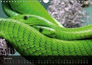 Giftschlangen (Wandkalender 2016 DIN A4 quer)