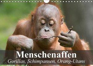 Menschenaffen. Gorillas, Schimpansen, Orang-Utans (Wandkalender