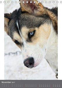 Huskies - Portraits im Schnee