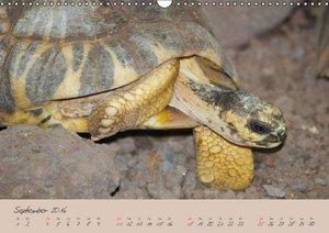Schildkröten (Wandkalender 2016 DIN A3 quer)