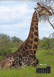 Giraffen - Afrikas Größen (Wandkalender 2017 DIN A2 hoch)