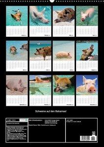 Schweine auf den Bahamas!