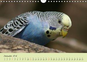 Wellensittiche - Gefiederte Freunde (Wandkalender 2016 DIN A4 qu