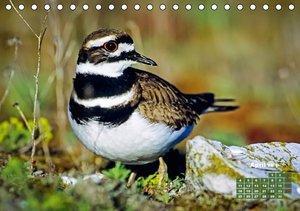 Vögel am Wasser - Watvögel (Tischkalender 2016 DIN A5 quer)