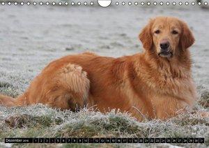 Hovawart - natürlich blond (Wandkalender 2016 DIN A4 quer)