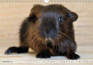 Guinea Pigs Delicate creatures (Wall Calendar 2016 DIN A4 Landsc