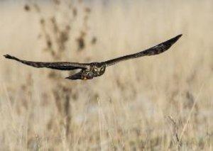 Harriers - Birds of Prey (Poster Book DIN A4 Landscape)