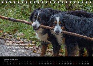 So ist er. Der Berner Sennenhund (Tischkalender 2017 DIN A5 quer