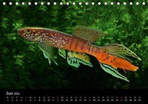 Killifische Westafrikas (Tischkalender 2016 DIN A5 quer)