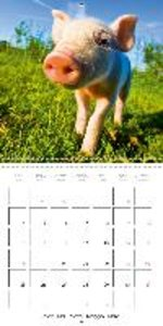 Cute piglets - living in the country (Wall Calendar 2015 300 × 3
