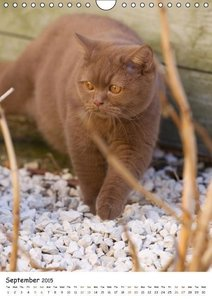 British Shorthair (Wall Calendar 2015 DIN A4 Portrait)