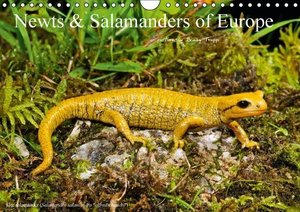 Newts & Salamanders / UK-Version (Wall Calendar 2016 DIN A4 Land
