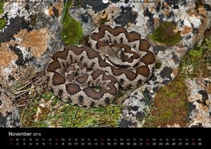 Dummermuth, S: Faszination Vipern (Wandkalender 2015 DIN A2