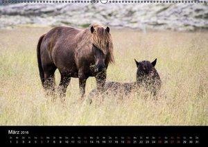 Islandpferde (Wandkalender 2016 DIN A2 quer)