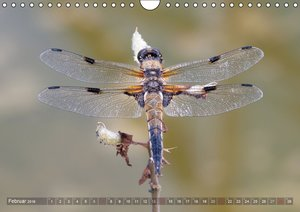Libellen - Fliegende Edelsteine (Wandkalender 2016 DIN A4 quer)