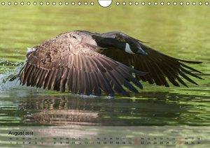 Gänse und Enten. Schnattern, watscheln, quaken! (Wandkalender 20