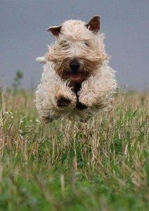 Irish Soft Coated Wheaten Terrier (Posterbuch DIN A3 hoch)
