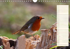 Gefiederte Schönheiten - Das Rotkehlchen / Planer (Wandkalender
