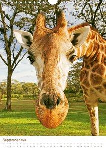 Giraffen: Schlanke Schönheiten aus Afrika (Wandkalender 2018 DIN