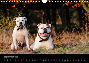 American Bulldog - alles Andere ist nur ein Hund