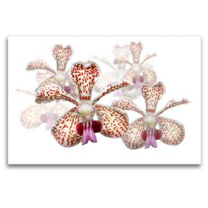 Premium Textil-Leinwand 120 cm x 80 cm quer Vanda besonii Orchid