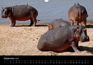 Hippos - Afrikas Kolosse