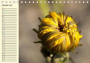 Geliebte Pusteblume. Zauberhafter Löwenzahn (Tischkalender 2020