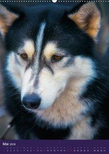 Huskies - Artwork