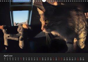 Katzen Blues (Wandkalender 2019 DIN A3 quer)