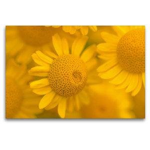 Premium Textil-Leinwand 120 cm x 80 cm quer Gelbe Mageriten