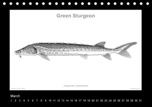 American Sturgeons (Acipenseridae): Fish as Art (Table Calendar